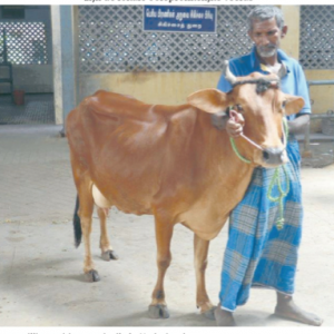 Indiase koe